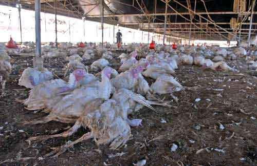 禽流感此前被认为来源于禽鸟粪便 资料图