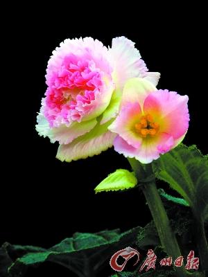 美丽海棠花.