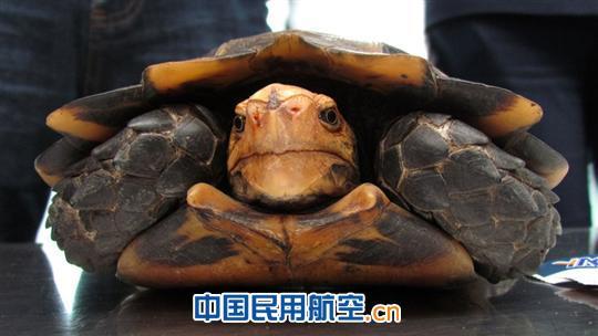 昆明机场安检站查获国家二级保护动物野生山龟(图)