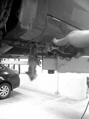工作人员说,冬天里,小动物钻入发动机舱盖以及排气管旁的位置取暖的事