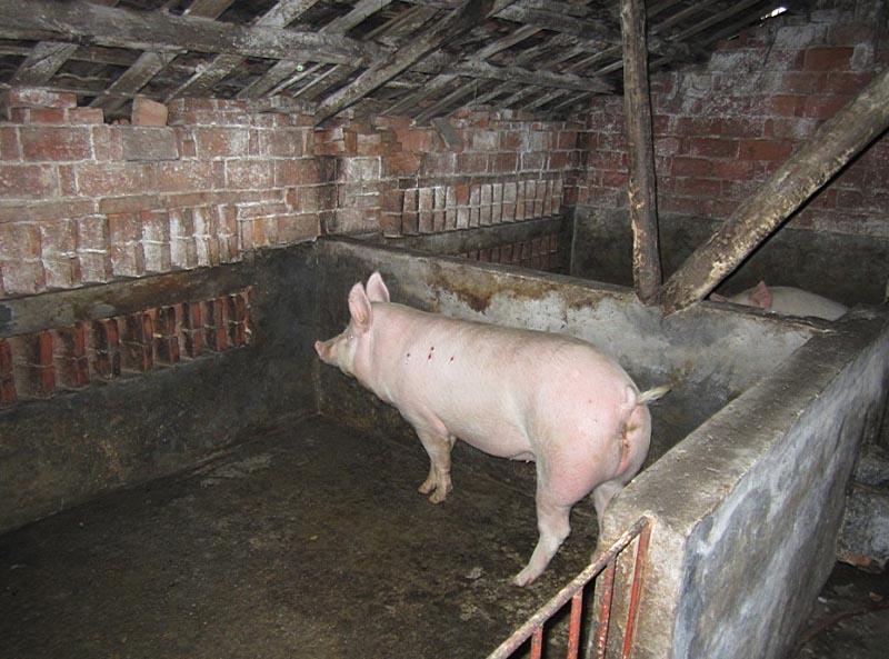 过年杀了四头猪,猪圈里还剩四头,孙院长说等来年每隔2个月便杀一头.图片