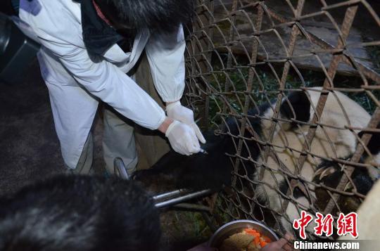 不愿伸手打针的大熊猫。 李丽 摄
