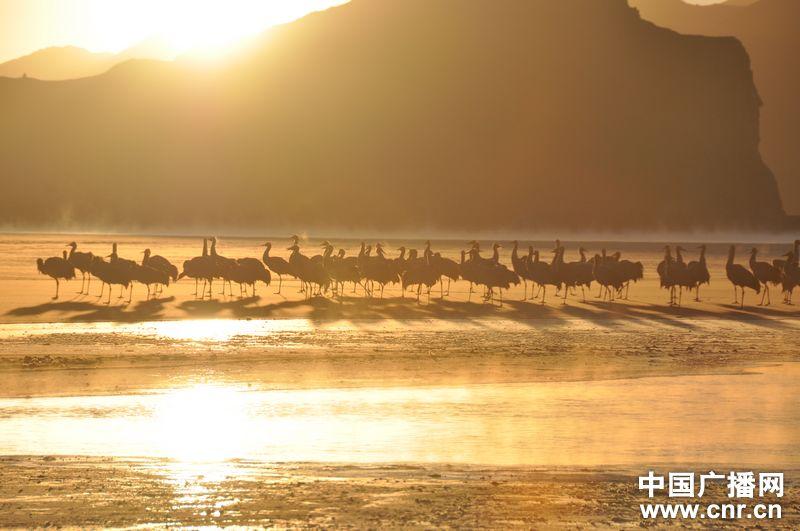 春节期间西藏的林周县虎头山水库,在冰天雪地上,有很多黑颈鹤和野鸭