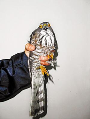 雀鹰属于国家二级保护动物