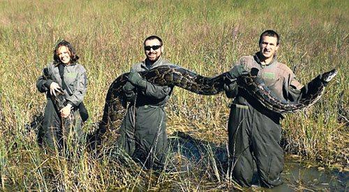 常会上演激烈的蟒蛇鳄鱼大战.