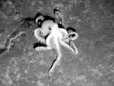热泉附近的白色章鱼