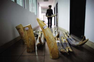 2011年12月23日,广西凭祥市公安边防大队干警在清点查获的走私象牙。本报记者 赵亢 摄