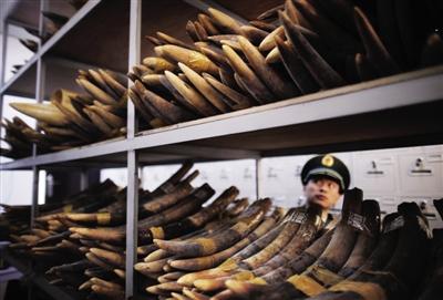 2011年12月23日,广西凭祥市公安边防大队仓库内,摆满了查获的象牙。 本报记者 赵亢 摄
