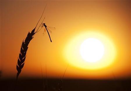 2011年9月7日傍晚,在加拿大阿尔伯塔省伏尔甘地区附近的草原,蜻蜓落在正待收割的麦穗上。图片来源:planetark.org网站