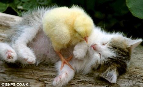 小猫和小鸡成为亲密朋友,一同吃睡玩耍,片刻不分离。