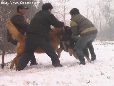 高加索犬与藏獒生死对决(组图)