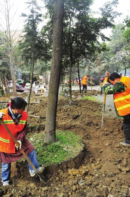 熊猫大道改造 万棵行道树昨起搬家高清图片