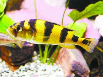 斑马鱼是一种小型热带观赏鱼
