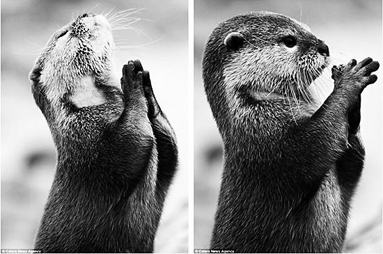 水獭 祈祷 双爪合十似祈求食物