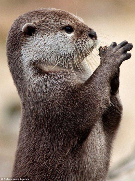 """水獭双手合十如祈祷:""""上帝赐我一条鱼吧""""(组图)"""