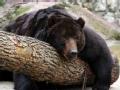拯救黑熊48小时