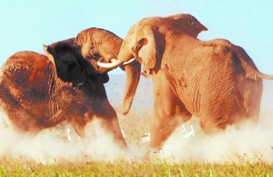 肯尼亚大象