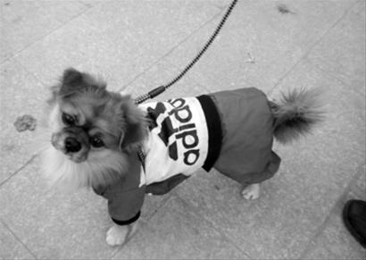 可爱的 小狗 冬装/现在人们对美的追求越来越高,家里的宠物们也加入了爱美的行列...
