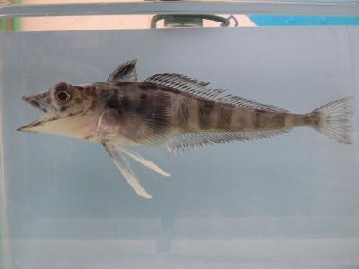 耶鲁大学皮博迪自然史博物馆收藏的鱼类标本是世界上最重要的此类收藏图片