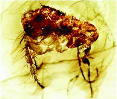 中国 跳蚤/在琥珀中的现代类型跳蚤化石。
