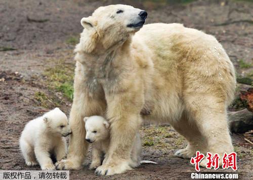 荷兰动物园北极熊双胞胎亮相熊妈用布宝宝母子情深(兔子)怎样组图v用布小怀抱图片