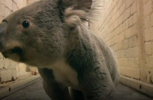 最近英国一只可爱的考拉却精力充沛地在爱丁堡动物园的走廊里闲逛了
