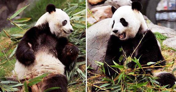 """海洋公园/左图:大熊猫""""乐乐""""在吃嫩竹叶。"""
