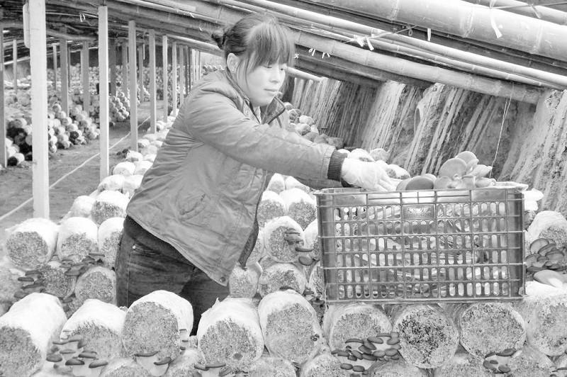 郝庄村/日前,记者在定陶县冉堌镇郝庄村的蘑菇大棚里看到,菇农们正在...