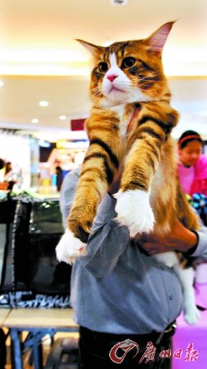 最大 大选/目前内地宠物猫品种中体型最大的缅因猫。