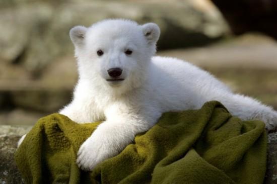 世界上最萌的北极熊【组图】为什么挖笋后有苍蝇图片