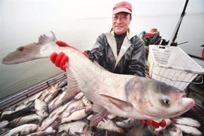 亚洲 鲤鱼/亚洲鲤鱼从美国本土鱼口中疯狂夺食新华社资料图片