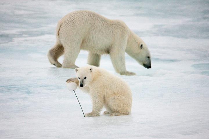 北极熊生存现状实录(组图)