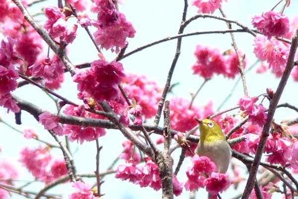 樱花枝头小鸟啼叫
