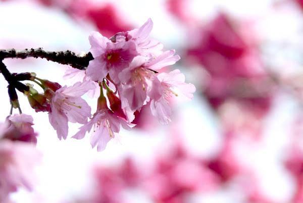 3月樱花正旺