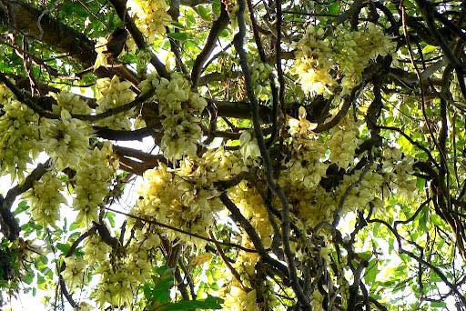 禾雀花开得很旺盛