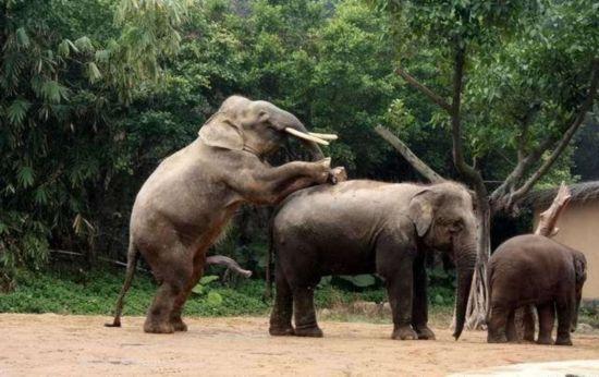 大鸡吧的性交_据动物学家介绍:大象这个庞然大物同样采取后进入的性交体位,雌象