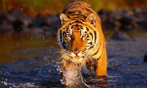 """老虎借用树枝""""剔牙""""(图)"""