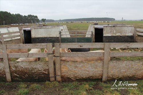 州布吕克市郊区农村,是一个放养型生态养猪场图片