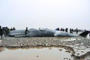 金侨驹�(_江苏黄海海域4头鲸搁浅死亡(图)