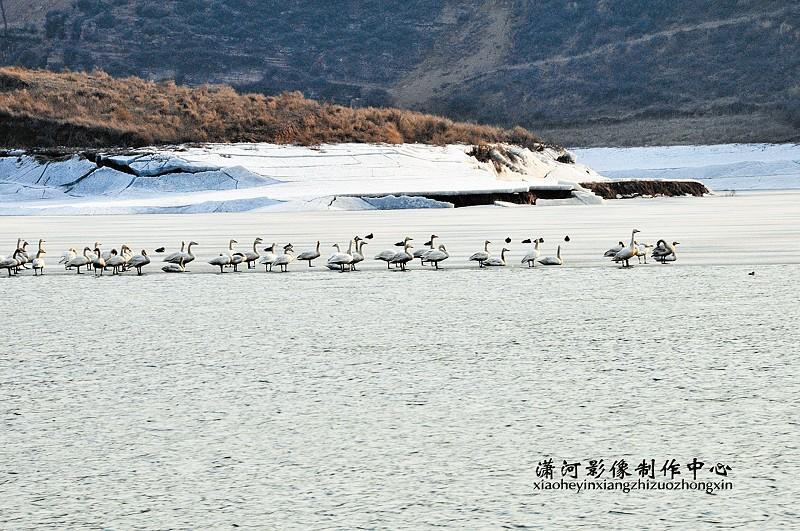 寿阳/寿阳松塔水库数百天鹅舞翩跹(组图)