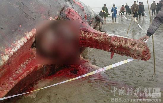 江苏/3月17日,在江苏盐城市滨海县境内的黄海海域搁浅的4头鲸鱼,经...
