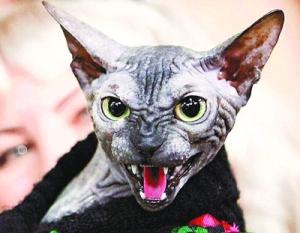 最丑的猫(图)