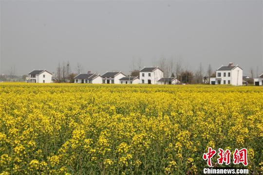 金灿灿的油菜花田如同一块块大幅的黄色织锦补缀在青山绿水间。刘良伟摄