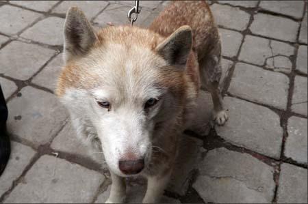 宠物狗 还是/王先生在自己家院中拍摄的哈士奇照片。(网络图片)