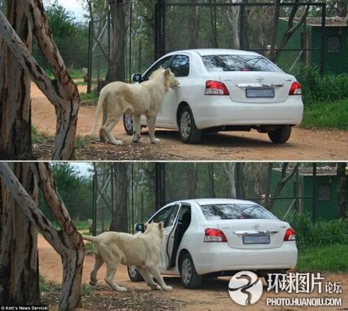 野生动物园上演惊魂一幕:狮子拉开游客车门