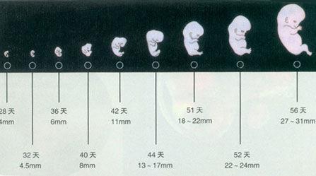 40天胚囊结构图