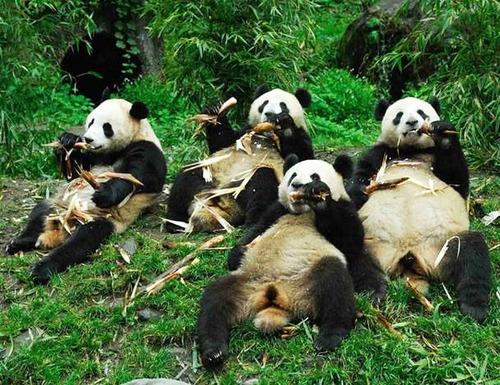 大熊猫吃个不停,其实也是情非得已