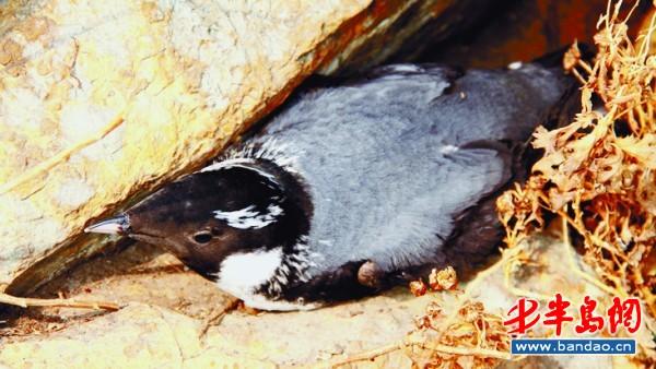 曾晓起 易危/正在孵鸟蛋的易危鸟类扁嘴海雀。图片由发现者曾晓起提供