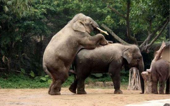 性交��.�9l����[��_据动物学家介绍:大象这个庞然大物同样采取后进入的性交体位,雌象