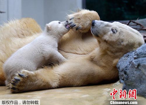 德国动物园北极熊蜗牛anori首次与宝宝见面(图)游人大班毛线画教案图片